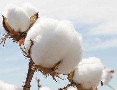 棉籽价格不跌反涨,原因何在?